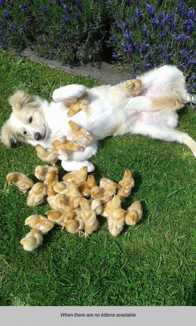 dog with chicks